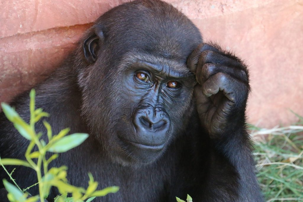 gorilla-1031235_1280